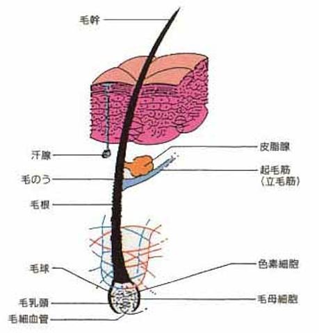 頭皮の図.jpg
